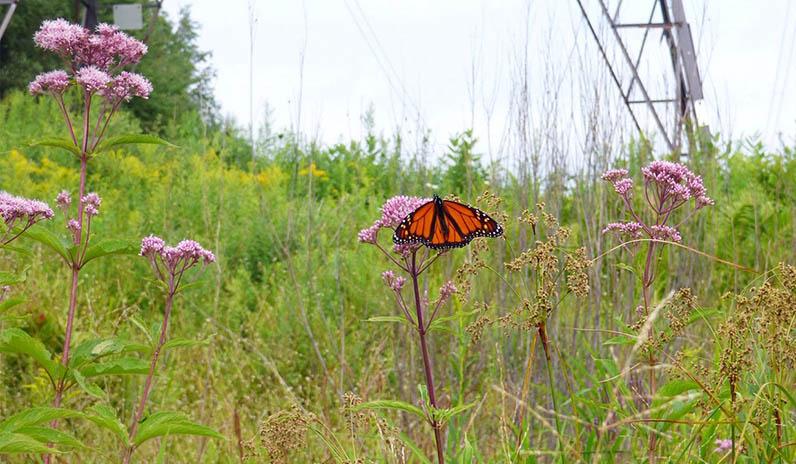 Qualico Communities | Edmonton | Pollinator Corridor
